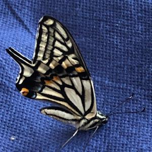 【実証】アゲハチョウが冬に羽化した時にできること