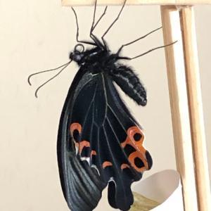 アゲハ飼育日誌2106 殻破損で翅乾燥 蝶の翅新説