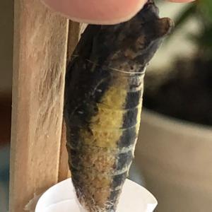 【簡単】アゲハチョウの前蛹や蛹が落下した時の救済方法