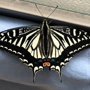 【検証】アゲハチョウの春型夏型とは?どこがどう違うの?
