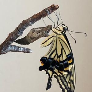 【検証】アゲハチョウの一生 寿命はどれくらい?