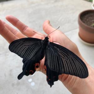 【検証】アゲハチョウが飛ばない3つの理由と対策