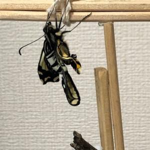 【検証】アゲハチョウ羽化失敗 考えられる4つの原因