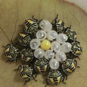 【実録】キマダラカメムシの卵から幼虫がわちゃわちゃ