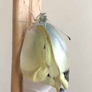 モンシロチョウの寿命はどれくらい? 卵~成虫の各日数