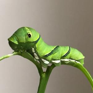 【実録】ナミアゲハ幼虫の成長過程 卵~成虫の各日数