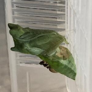アゲハ飼育日誌2116 奇形蛹 左前翅欠落 逆さま蛹化