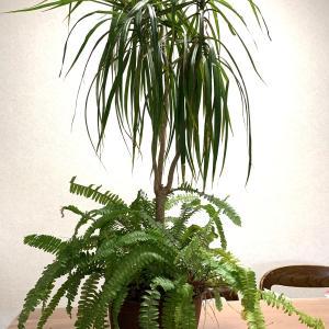 大きくなった観葉植物の始末