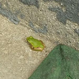 超ちっこいアマガエルからの・・・近所に出てくる動物昆虫