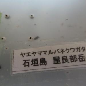 ヤエヤママルバネクワガタの幼虫を飼育する上で大切な3つのこと