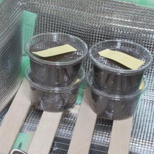 ヤエヤママルバネクワガタ第二回目の採卵