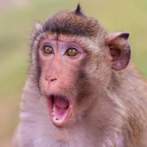 Monkey Idioms(サルにまつわるイディオム)