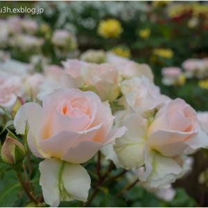 春薔薇(Ⅲ)