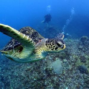 ウミガメに会える季節と注意事項まとめ。タイミングを見極めてマナーを守った観察をしましょう。