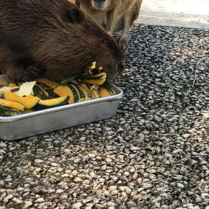 【阿蘇ファームランド】口いっぱいに食べ物を詰め込むビーバーに会える!