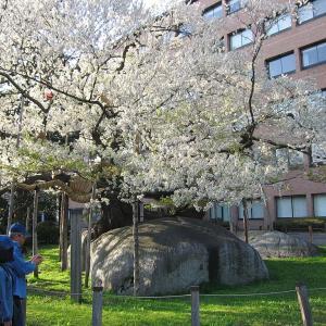 いつか行きたい日本の名所 石割桜