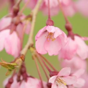 函館の桜満開 でも公園・駐車場は閉鎖中