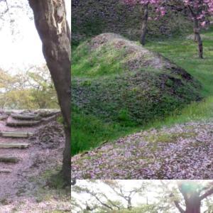 GW終わって桜も終わり コロナ禍で満開見られず
