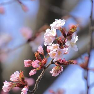 函館の桜開花宣言2020