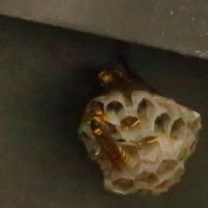 アシナガバチの巣が実家に