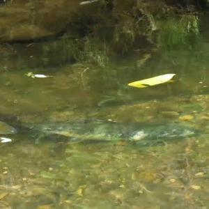 亀田川に今年も鮭が遡上