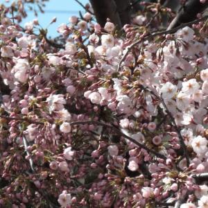函館も桜が咲き始め