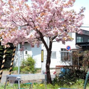 自宅で八重桜の花見