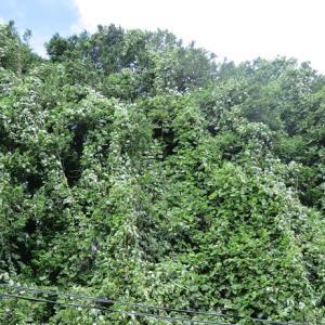 庭の雑草との戦い 除草剤を使わずに庭の葛(クズ)を駆除してみる(夏) 経過観察編