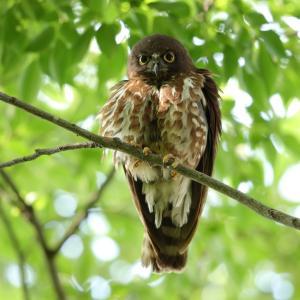 アオバズク雌と雄の胸腹の茶色斑
