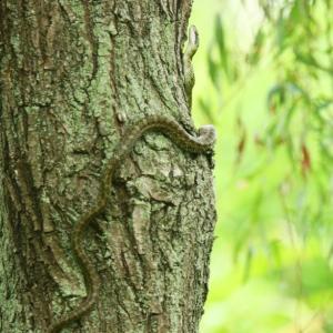 野鳥を狙うヘビ