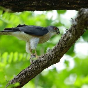 ツミ雄の食事と給餌