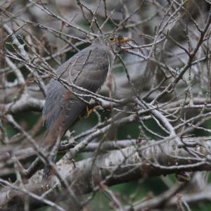 灰系ツツドリ幼鳥AとB