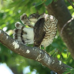 ツミ幼鳥C 繕いとストレッチ