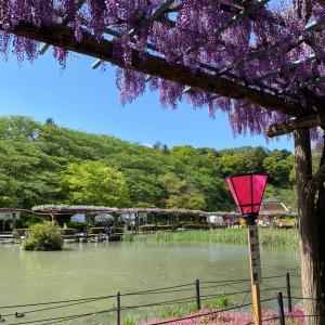 【息抜き】YouTube動画:蓮華寺池公園で見頃の藤の花を観てきました!