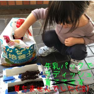 【育児】家庭菜園(ラディッシュ)後編
