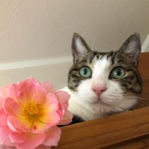 バラの香りでぐっすりですぅ