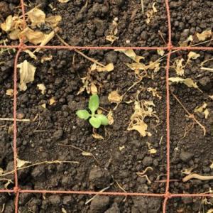 トルコギキョウ定植