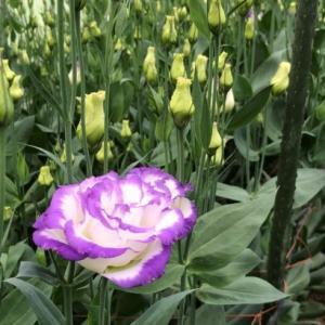 トルコギキョウ少しずつ開花