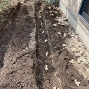 畑仕事開始 生姜を植えました