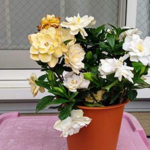 梔(八重咲きの品種)の植え替え&葉刈り