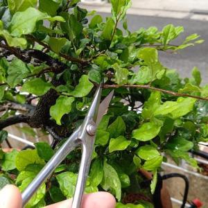 老爺柿の雄木を切り戻し剪定