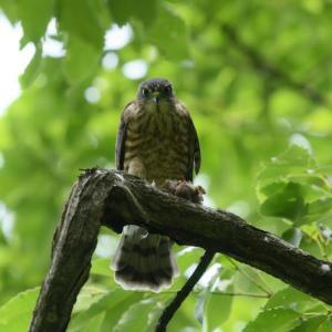国内では一番小さい鷹