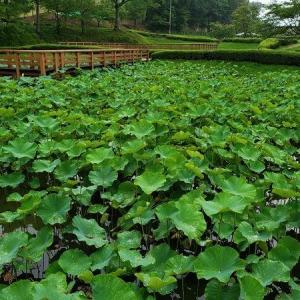 8月上旬、ハスの池の様子