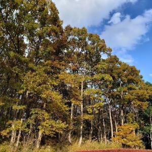 『ヌルデ』も紅葉~11月の森①