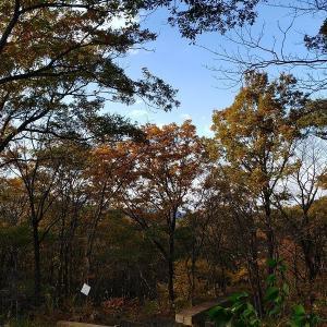 赤くてかわいいツブツブ、その名は『ガマズミ』~11月の森②