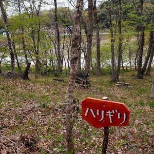 するどいトゲがある木・その名はハリギリ~4月の森③