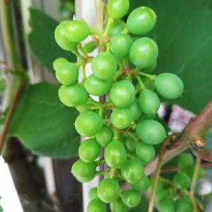 葡萄の調子
