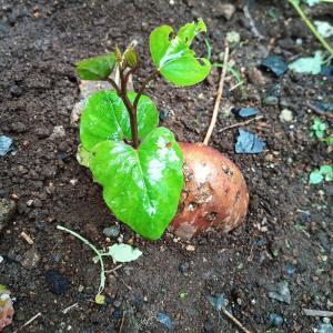 スーパーで買ったサツマイモ