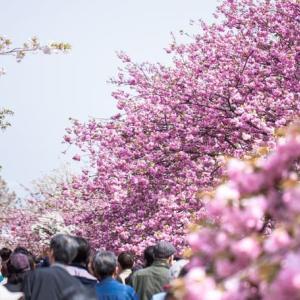 【2021年】造幣局桜の通り抜けは事前申込制になったみたい。