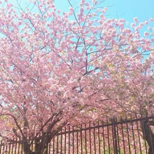【2021年】造幣局の桜フォト。通り抜けは中止ですが綺麗に咲いています!